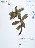 (Myrsine - UDBC-BSDATA-089)  @11 [ ] CreativeCommons - Attribution Non-Commercial Share-Alike (2013) Herbario Forestal UDBC Herbario Forestal UDBC - Universidad Distrital Francisco José de Caldas