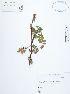 (Acaena - UDBC-BSDATA-091)  @11 [ ] CreativeCommons - Attribution Non-Commercial Share-Alike (2013) Herbario Forestal UDBC Herbario Forestal UDBC - Universidad Distrital Francisco José de Caldas