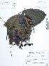 (Mucuna - UDBC-BSDATA-095)  @11 [ ] CreativeCommons - Attribution Non-Commercial Share-Alike (2013) Herbario Forestal UDBC Herbario Forestal UDBC - Universidad Distrital Francisco José de Caldas