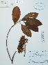 (Cinchonoideae - UDBC-BSDATA-028)  @11 [ ] CreativeCommons - Attribution Non-Commercial Share-Alike (2013) Herbario Forestal UDBC Herbario Forestal UDBC - Universidad Distrital Francisco José de Caldas