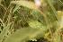 (Solanaceae - D6_K1207_Solanum_sp)  @11 [ ] CreativeCommons - Attribution Non-Commercial Share-Alike (2014) Dr. Robert Pringle Mpala Research Centre