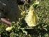 (Solanum campylacanthum - D4_K1212_Solanum_campylacanthum)  @11 [ ] CreativeCommons - Attribution Non-Commercial Share-Alike (2014) Dr. Robert Pringle Mpala Research Centre