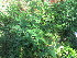 (Chenopodium opulifolium - A7_K1214_Chenopodium_sp)  @11 [ ] CreativeCommons - Attribution Non-Commercial Share-Alike (2014) Dr. Robert Pringle Mpala Research Centre