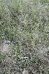 (Chloridoideae - D3_K1213_Sporobolus_pyramidalis)  @11 [ ] CreativeCommons - Attribution Non-Commercial Share-Alike (2014) Dr. Robert Pringle Mpala Research Centre