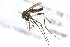 (Aedes albopictus - 09BBDIP-1568)  @13 [ ] CreativeCommons - Attribution Non-Commercial Share-Alike (2010) Unspecified Biodiversity Institute of Ontario