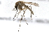 (Aedes sollicitans - 09BBDIP-1588)  @13 [ ] CreativeCommons - Attribution Non-Commercial Share-Alike (2010) Unspecified Biodiversity Institute of Ontario