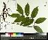 (Maianthemum - TJD-040)  @11 [ ] by-nc (2014) MTMG McGill University Herbarium