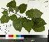 ( - TJD-093)  @11 [ ] by-nc (2014) MTMG McGill University Herbarium