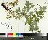 (Chelidonium - TJD-144)  @11 [ ] by-nc (2014) MTMG McGill University Herbarium