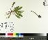 (Pilosella - TJD-161)  @11 [ ] by-nc (2014) MTMG McGill University Herbarium