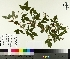 ( - TJD-181)  @11 [ ] by-nc (2014) MTMG McGill University Herbarium