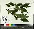 (Prunus - TJD-360)  @11 [ ] by-nc (2014) MTMG McGill University Herbarium