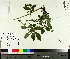 (Agrimonia - TJD-384)  @11 [ ] by-nc (2014) MTMG McGill University Herbarium