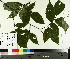(Fagus grandifolia - TJD-440)  @11 [ ] by-nc (2014) MTMG McGill University Herbarium