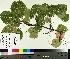 (Populus grandidentata - TJD-455)  @11 [ ] by-nc (2014) MTMG McGill University Herbarium