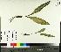 (Allium tricoccum - TJD-554)  @11 [ ] by-nc (2014) MTMG McGill University Herbarium