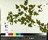 (Acer tataricum subsp. ginnala - TJD-557)  @11 [ ] by-nc (2014) MTMG McGill University Herbarium