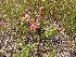 (Juncus brevicaudatus - TJD-293)  @11 [ ] CreativeCommons - Attribution Non-Commercial (2013) MTMG McGill Herbarium