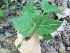 (Phryma - TJD-337)  @11 [ ] CreativeCommons - Attribution Non-Commercial (2013) MTMG McGill Herbarium