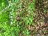 (Weigela floribunda - TJD-558)  @11 [ ] CreativeCommons - Attribution Non-Commercial (2013) MTMG McGill University Herbarium