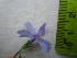(Silene coeli-rosa - TJD-565)  @11 [ ] CreativeCommons - Attribution Non-Commercial (2013) MTMG McGill University Herbarium