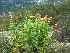 (Lilium lancifolium - TJD-645)  @11 [ ] CreativeCommons - Attribution Non-Commercial (2013) MTMG McGill University Herbarium