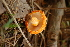  (Agaricus - TRTC157209)  @11 [ ] CreativeCommons - Attribution Non-Commercial Share-Alike (2010) Unspecified Royal Ontario Museum