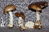  (Amanita aff. mamorata - TRTC157167)  @11 [ ] CreativeCommons - Attribution Non-Commercial Share-Alike (2010) Unspecified Royal Ontario Museum