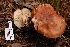  (Tricholoma cf. albobrunneum - TRTC161137)  @11 [ ] CreativeCommons - Attribution Non-Commercial Share-Alike (2010) Unspecified Royal Ontario Museum