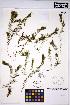 (Ceratophyllum echinatum - HERB0177)  @11 [ ] CreativeCommons - Attribution Non-Commercial Share-Alike (2013) Unspecified UBC Herbarium