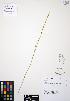 (Calochortus macrocarpus - ERM311)  @11 [ ] CreativeCommons - Attribution Non-Commercial Share-Alike (2012) Unspecified UBC Herbarium