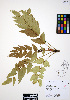 (Mahonia nervosa - ERM317)  @11 [ ] CreativeCommons - Attribution Non-Commercial Share-Alike (2012) Unspecified UBC Herbarium