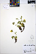 (Potentilla flabellifolia - ERM1097)  @11 [ ] CreativeCommons - Attribution Non-Commercial Share-Alike (2013) Unspecified UBC Herbarium