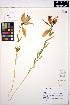 (Lilium philadelphicum - ERM1570)  @11 [ ] CreativeCommons - Attribution Non-Commercial Share-Alike (2013) Unspecified UBC Herbarium