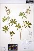 (Lupinus latifolius - MF205)  @11 [ ] CreativeCommons - Attribution Non-Commercial Share-Alike (2013) Unspecified UBC Herbarium