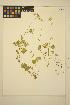 (Hemieva - MF351)  @11 [ ] CreativeCommons - Attribution Non-Commercial Share-Alike (2014) Unspecified UBC Herbarium