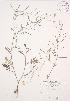 (Erucastrum - JAG 0243WP)  @11 [ ] CreativeCommons – Attribution Share-Alike (by-sa) (2012) University of Guelph OAC BIO Herbarium