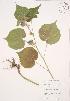 ( - JAG 0687WP)  @11 [ ] CreativeCommons – Attribution Share-Alike (by-sa) (2012) University of Guelph OAC BIO Herbarium