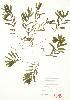 (Potamogeton crispus - ABM 014WP)  @11 [ ] CreativeCommons – Attribution Share-Alike (by-sa) (2012) University of Guelph OAC BIO Herbarium