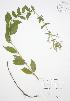 ( - JAG 0081WP)  @11 [ ] CreativeCommons – Attribution Share-Alike (by-sa) (2012) University of Guelph OAC BIO Herbarium