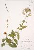 ( - JAG 0690WP)  @11 [ ] CreativeCommons – Attribution Share-Alike (by-sa) (2012) University of Guelph OAC BIO Herbarium