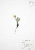 ( - ALR018WP)  @11 [ ] CreativeCommons – Attribution Share-Alike (by-sa) (2012) University of Guelph OAC BIO Herbarium