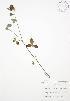 ( - BAR126WP)  @11 [ ] CreativeCommons – Attribution Share-Alike (by-sa) (2012) University of Guelph OAC BIO Herbarium