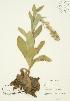 ( - JAG 0247WP)  @11 [ ] CreativeCommons – Attribution Share-Alike (by-sa) (2012) University of Guelph OAC BIO Herbarium