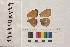 ( - RVcoll.140410KV49)  @11 [ ] Butterfly Diversity and Evolution Lab (2014) Roger Vila Institute of Evolutionary Biology