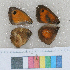 ( - RVcoll.12-O914)  @11 [ ] Butterfly Diversity and Evolution Lab (2014) Roger Vila Institute of Evolutionary Biology
