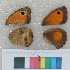 ( - RVcoll.12-P534)  @11 [ ] Butterfly Diversity and Evolution Lab (2014) Roger Vila Institute of Evolutionary Biology