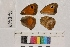 ( - RVcoll.14-B469)  @11 [ ] Butterfly Diversity and Evolution Lab (2014) Roger Vila Institute of Evolutionary Biology