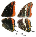 ( - RVcoll.14-D950)  @11 [ ] Butterfly Diversity and Evolution Lab (2014) Roger Vila Institute of Evolutionary Biology