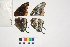 ( - RVcoll.11-E988)  @11 [ ] Butterfly Diversity and Evolution Lab (2014) Roger Vila Institute of Evolutionary Biology
